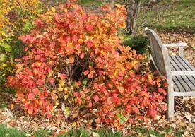 Fothergilla gardenii: the smaller Fothergilla