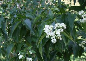 Seven-Sons Flower: Heptacodium micinoides
